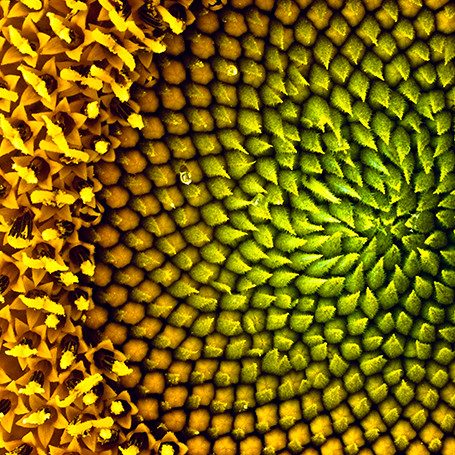 Sunflower seed head with fine detail